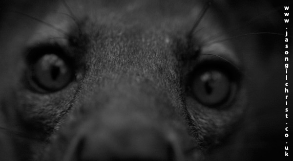 Eyes of the fossa