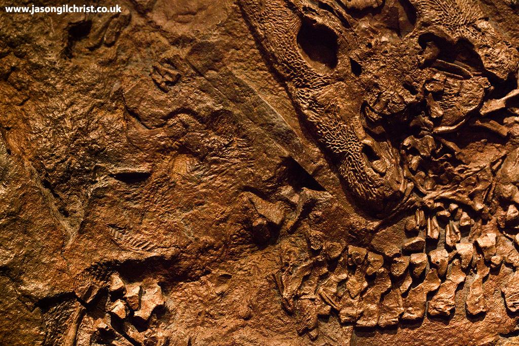 Early tetrapod fossil skull & vertebrae - Fossil Hunters exhibition