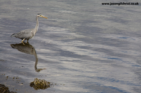 Upon Reflection: Grey Heron