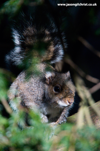 Grey Squirrel, Sciurus carolinensis, Edinburgh, Scotland.