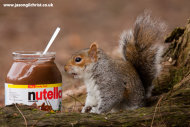 Grey Squirrel, Sciurus carolinensis, with Nutella, Edinburgh, Scotland.