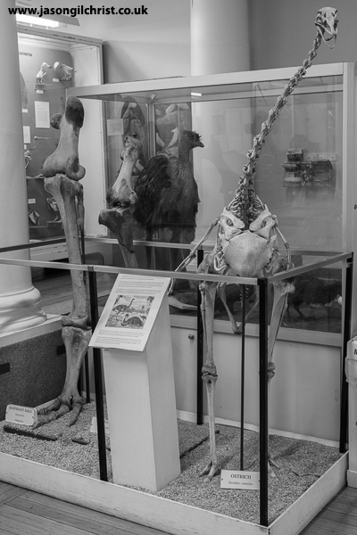 Big bird skeletons at the Hunterian Zoology Museum
