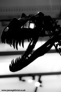 Ceratosaurus nasicornis theropod dinosaur skull at the Kelvingrove Museum