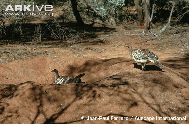 Mallee fowl on nest