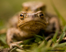 Copulation: the common toad