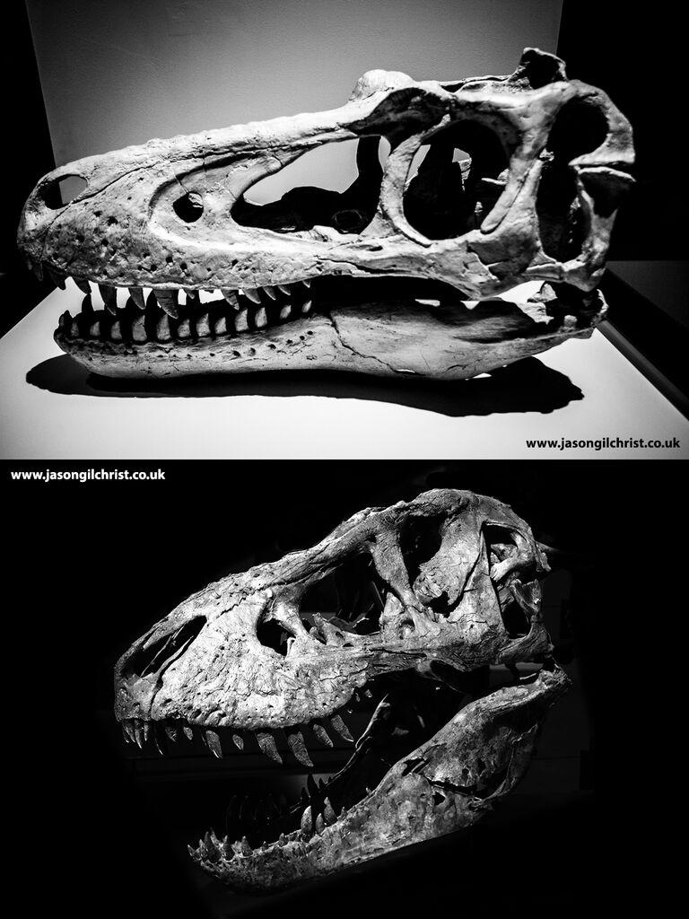 Nanotyrannus lancensis vs Tyrannosaurus rex skull