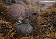 Otter with flatfish