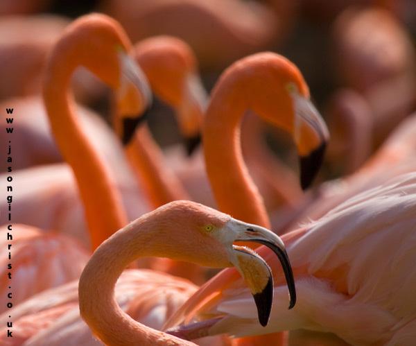 Pink curves: flamingo (Phoenicopterus roseus)