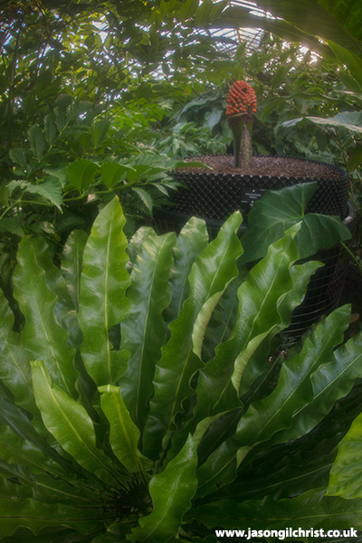 Hiding Amongst the Greenery - New Reekie 2 - Amorphophallus titanum - titan arum