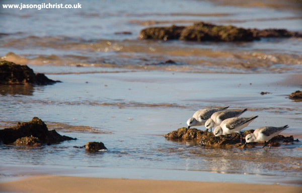 Sanderling at Albufeira