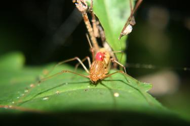 Scytodes socialis social spider