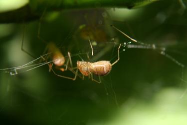 Scytodes socialis social spider on web