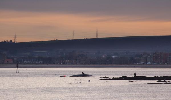 Sperm whale-dead-Joppa-Portobello-Edinburgh-Scotland-Physeter macrocephalus-05