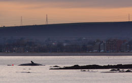 Sperm whale-dead-Joppa-Portobello-Edinburgh-Scotland-Physeter macrocephalus-06