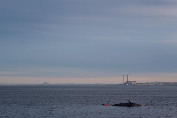 Sperm whale-dead-Joppa-Portobello-Edinburgh-Scotland-Physeter macrocephalus-11