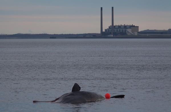 Sperm whale-dead-Joppa-Portobello-Edinburgh-Scotland-Physeter macrocephalus-14