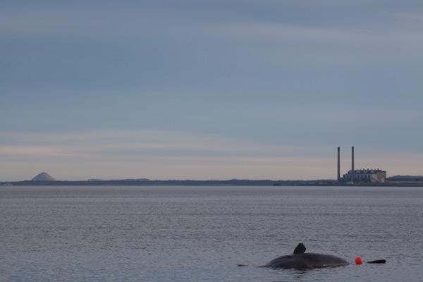 Sperm whale-dead-Joppa-Portobello-Edinburgh-Scotland-Physeter macrocephalus-15