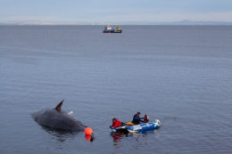 Sperm whale-dead-Joppa-Portobello-Edinburgh-Scotland-Physeter macrocephalus-20