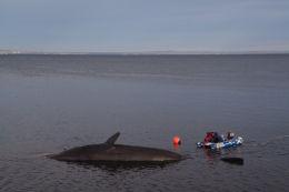Sperm whale-dead-Joppa-Portobello-Edinburgh-Scotland-Physeter macrocephalus-26