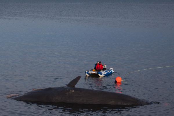 Sperm whale-dead-Joppa-Portobello-Edinburgh-Scotland-Physeter macrocephalus-29