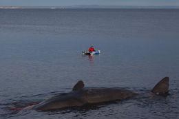 Sperm whale-dead-Joppa-Portobello-Edinburgh-Scotland-Physeter macrocephalus-31