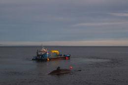 Sperm whale-dead-Joppa-Portobello-Edinburgh-Scotland-Physeter macrocephalus-33