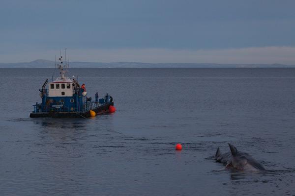 Sperm whale-dead-Joppa-Portobello-Edinburgh-Scotland-Physeter macrocephalus-35