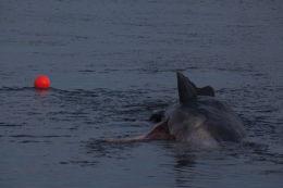 Sperm whale-dead-Joppa-Portobello-Edinburgh-Scotland-Physeter macrocephalus-36