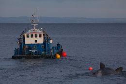 Sperm whale-dead-Joppa-Portobello-Edinburgh-Scotland-Physeter macrocephalus-37
