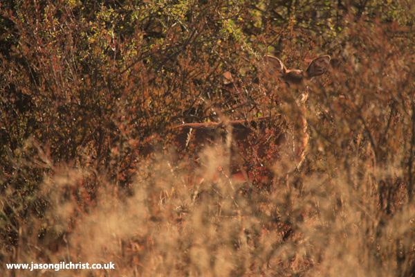 Invisibok: the Steenbok