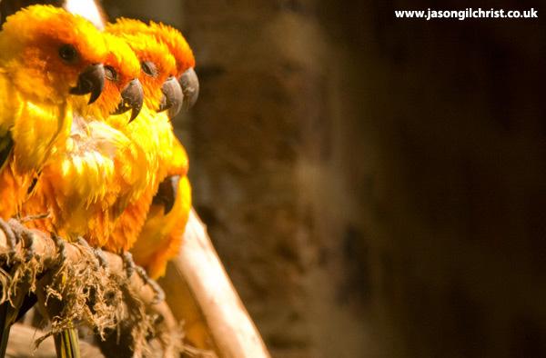 Sun birds: sun conure/parakeet (Aratinga solstitialis)