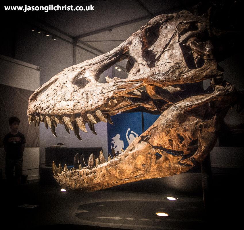 Tyrannosaurus rex skull - Trix - T. rex in Town