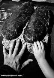 Tyrannosaurus rex eggs (speculative)