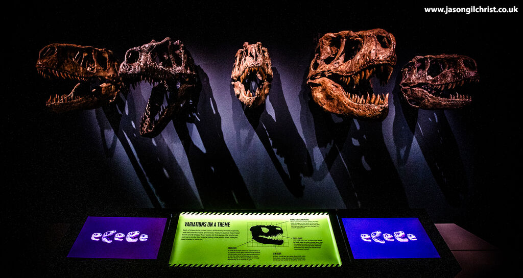 Tyrannosaur skulls - Tyrannosaurs exhibition - National Museum of Scotland - Edinburgh