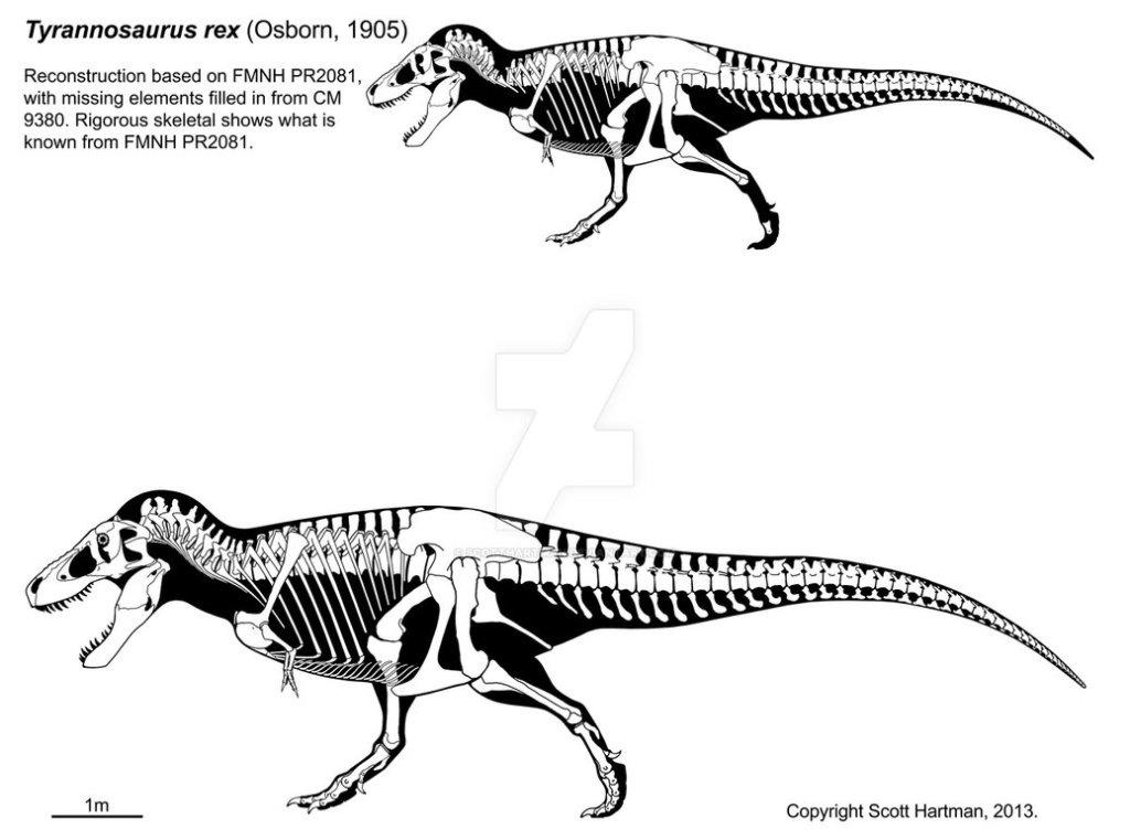 Tyrannosaurus rex skeletal reconstruction by Scott Hartman