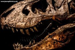 Trix, the Tyrannosaurus rex, skull (lateral)
