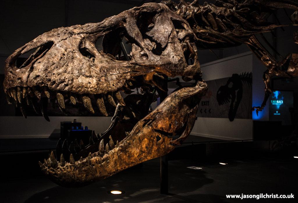 Trix, the Tyrannosaurus rex, skull