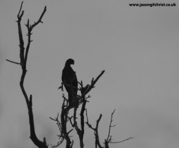 Vasa parrot
