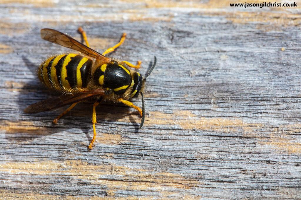 Wasp, Vespula sp., Kirkliston, Scotland
