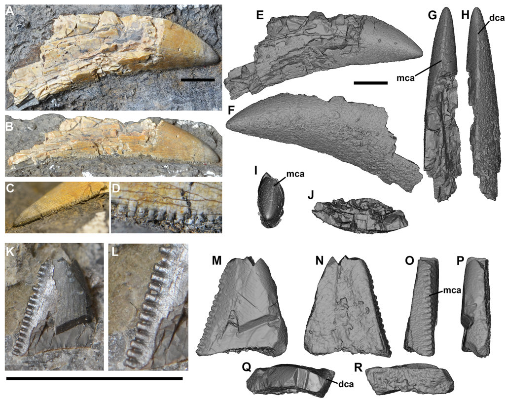 Photographs and CT scans of theropod teeth from Brother's Point, Isle of Skye