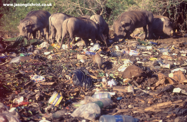 Banded Mongoose foraging at garbage dump with Warthogs