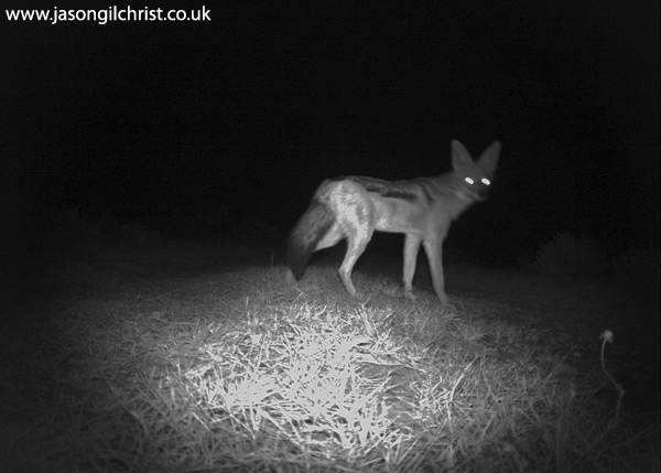 Black-backed Jackal, Canis mesomelas, at night, camera trap