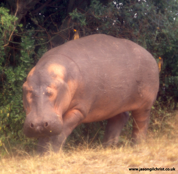 Blind hippo
