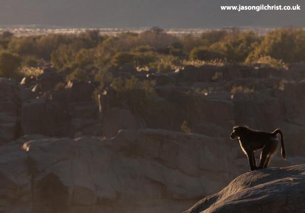 Chacma baboon over Augrabies Canyon