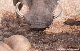 Common Warthog, Phacochoerus africanus, camera trap