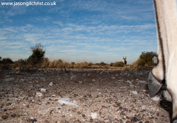 Greater Kudu, Tragelaphus strepsiceros, camera trap