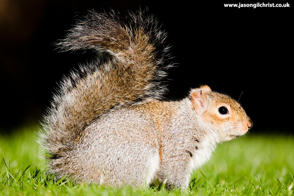 Grey squirrel in profile