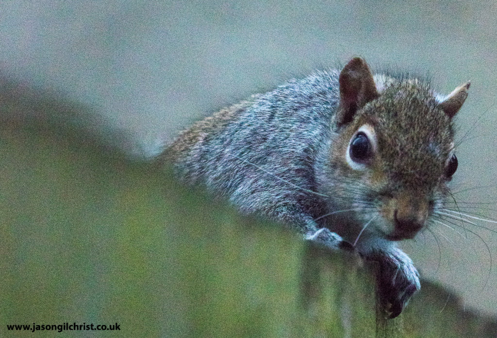 Grey squirrel over the fence, Southwell, England