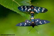 Pair of mating burnet moths (Amata phegea)