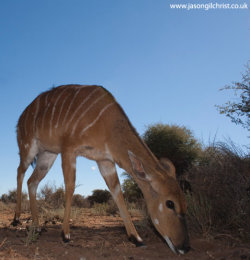 Female Nyala, Tragelaphus angasii, camera trap